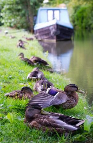 Ducks, Oxford Canal