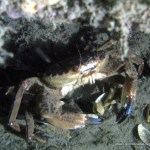 swim_crab.jpg