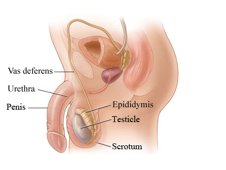 Scrotum testes and penis  Oxford Urology Associates
