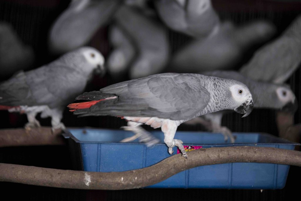 Some of the parrots confiscated from executive member of the Parrot Breeders Association of South Africa, Dieter Horstmann. Photo: Diana Neille
