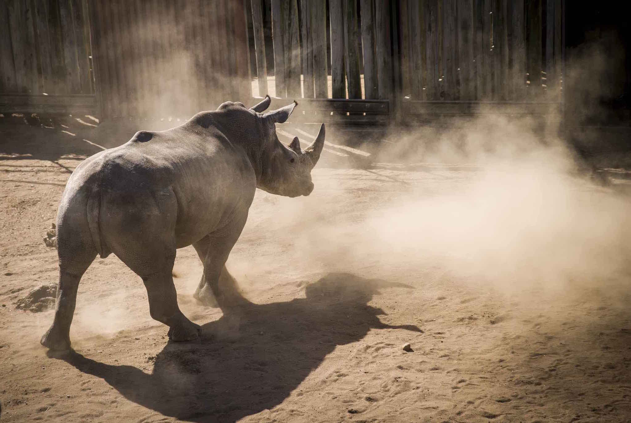 While it is legal for white rhinos to be hunted in South Africa under strict permit conditions, the hunt on the eve of CITES deliberations and its links to an ethically challenged outfit angered wildlife groups at the talks. Photo: Jacques Marais