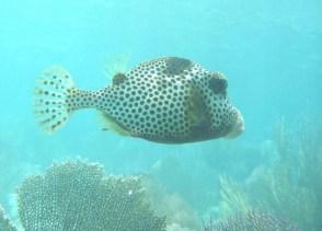 Poisson coffre au Belize