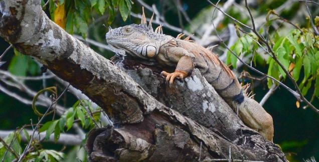 20 Iguane