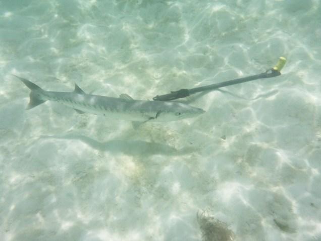 20 barracuda-curieux-du-fusil-de-sylvain