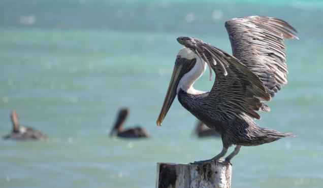 Photo-15 pelican