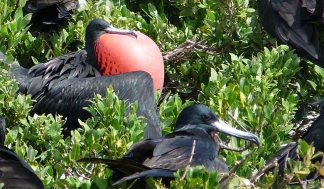 3-barbuda-parade-des-fregates-males-juste-magnifique.jpg