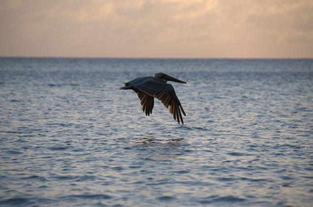 pelican-en-chasse