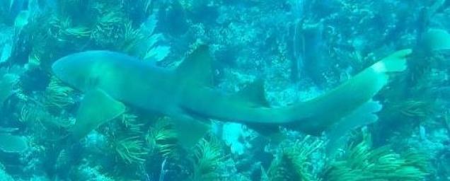 requin dormeur