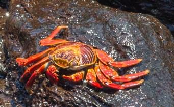 Crabe de lave, Zapaya