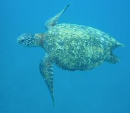 Tortue marine très familière