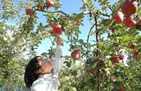 南信州はくだもの天国。 初夏から12月上旬まで、大地の味覚がたわわに実ります。 ≫ 松川りんご狩り・原りんご園