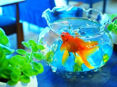 金魚の水槽のライトは何時間つけておくべき?金魚の飼い方