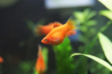 プラティの稚魚の色とは?稚魚の育て方を紹介します