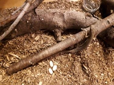 カナヘビが冬眠から起きるのは自分のタイミングに任せて飼育を