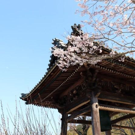 鐘楼堂と桜