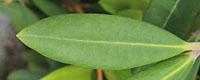 日本シャクナゲの葉