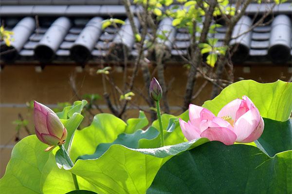 朝日を浴びる蓮の花