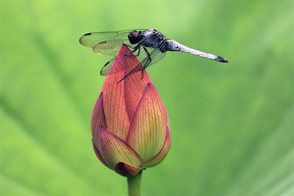 蓮の蕾と蜻蛉