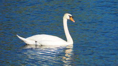 Cygne du Rhône | Swann of the rhone river
