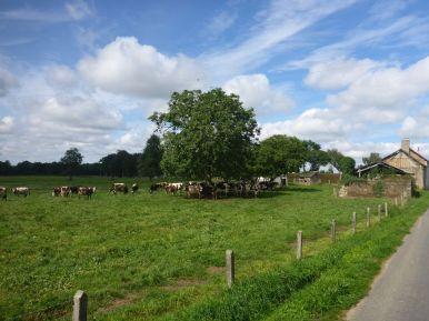 Des vaches ! | Cows !