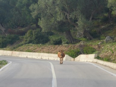 Vache sur la route | Cow on the road