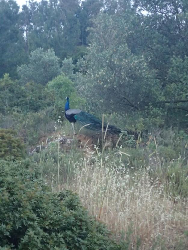 Paon | Peacock