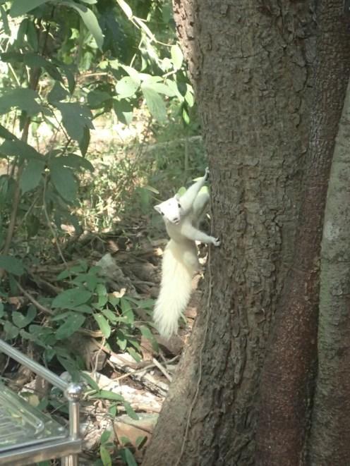 Écureuil blanc | White squirrel
