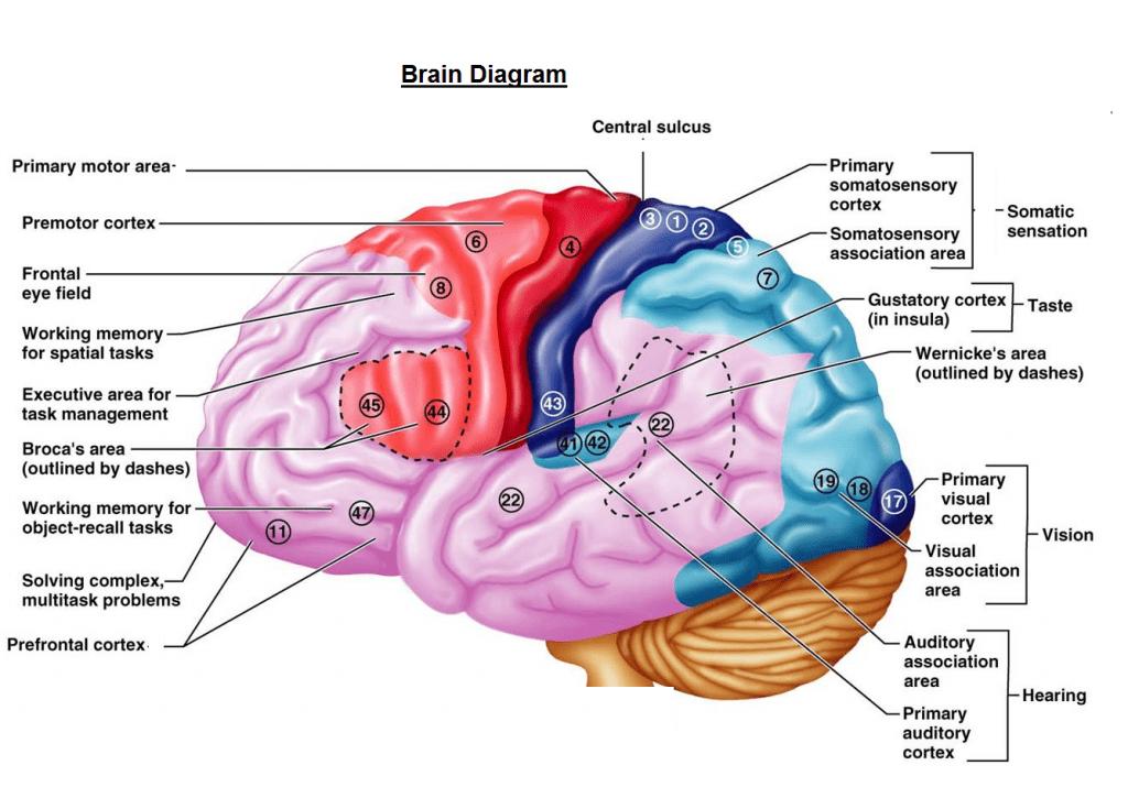 brain-diagram-1024x735[1]