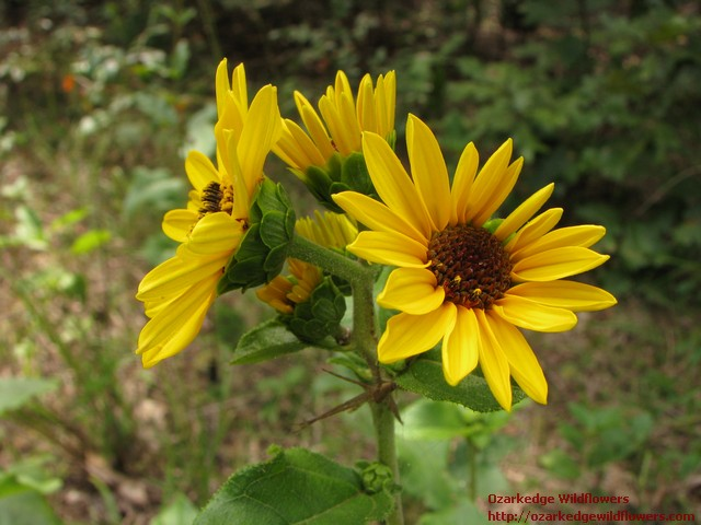 Fall Wallpaper Horses Ozarkedgewildflowers Com Native Wildflowers Found At The