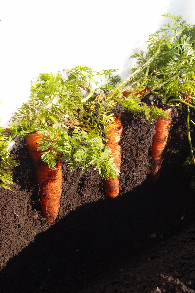 japan-winter-carrots