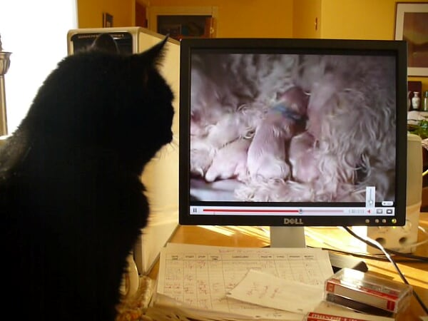 Our Gracie watches video of newly-born puppies on Youtube, February 5, 2009.