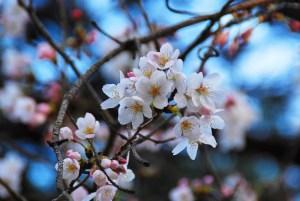 sakura, chery blossoms