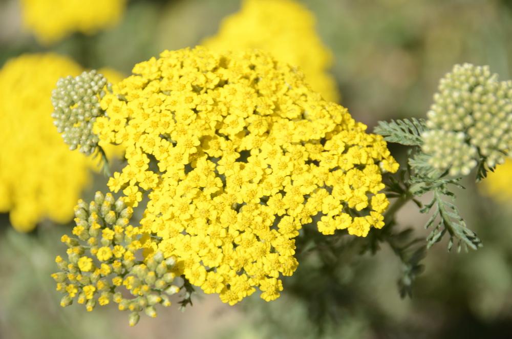 Yabani ot ve çiçek isimleri (Karadeniz Bölgesi)