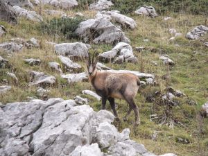 Pyrenean chamois (Rupicabra pyrenaica ornata) at Parco Nazionale della Majella, Abruzzo Italy.French: izard or isard, Spanish: rebeco or gamuza, Catalan: isard, Italian: camoscio, Aragonese: sarrio or chizardo