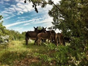 puglia murgia donkey Italy