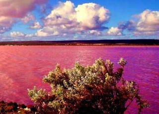 hutt-lagoon-violet