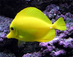 yellowdevilfish