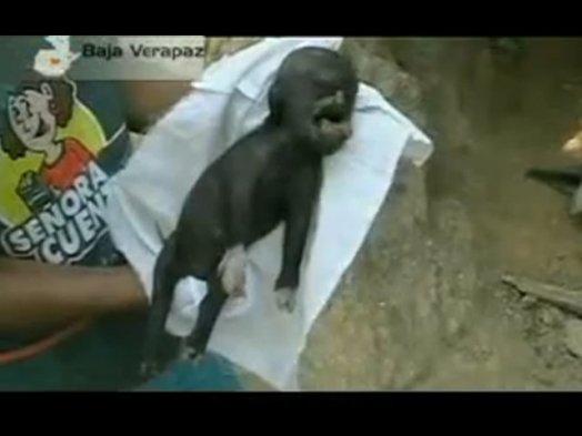 """Resultado de imagen de Nace un cerdo con """"cabeza humana"""" en Guatemala"""