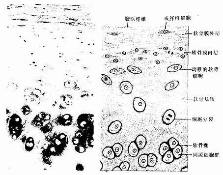 組織學/透明軟骨 - A+醫學百科