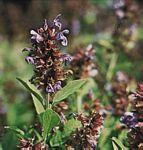鼠尾草.鼠尾草的功效與作用_中藥鼠尾草_鼠尾草是什麼_鼠尾草的用法用量_A+醫學百科