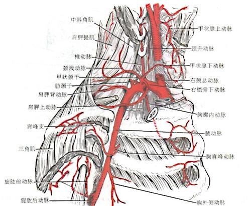 解剖學/鎖骨下上肢動脈 - A+醫學百科
