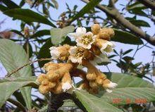 枇杷花,枇杷花的功效與作用_中藥枇杷花_枇杷花是什麼_枇杷花的用法用量_A+醫學百科