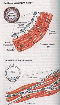 平滑肌 - A+醫學百科