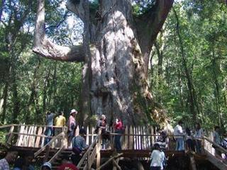 司馬庫斯部落 巨木群 - 旅遊美食資料庫