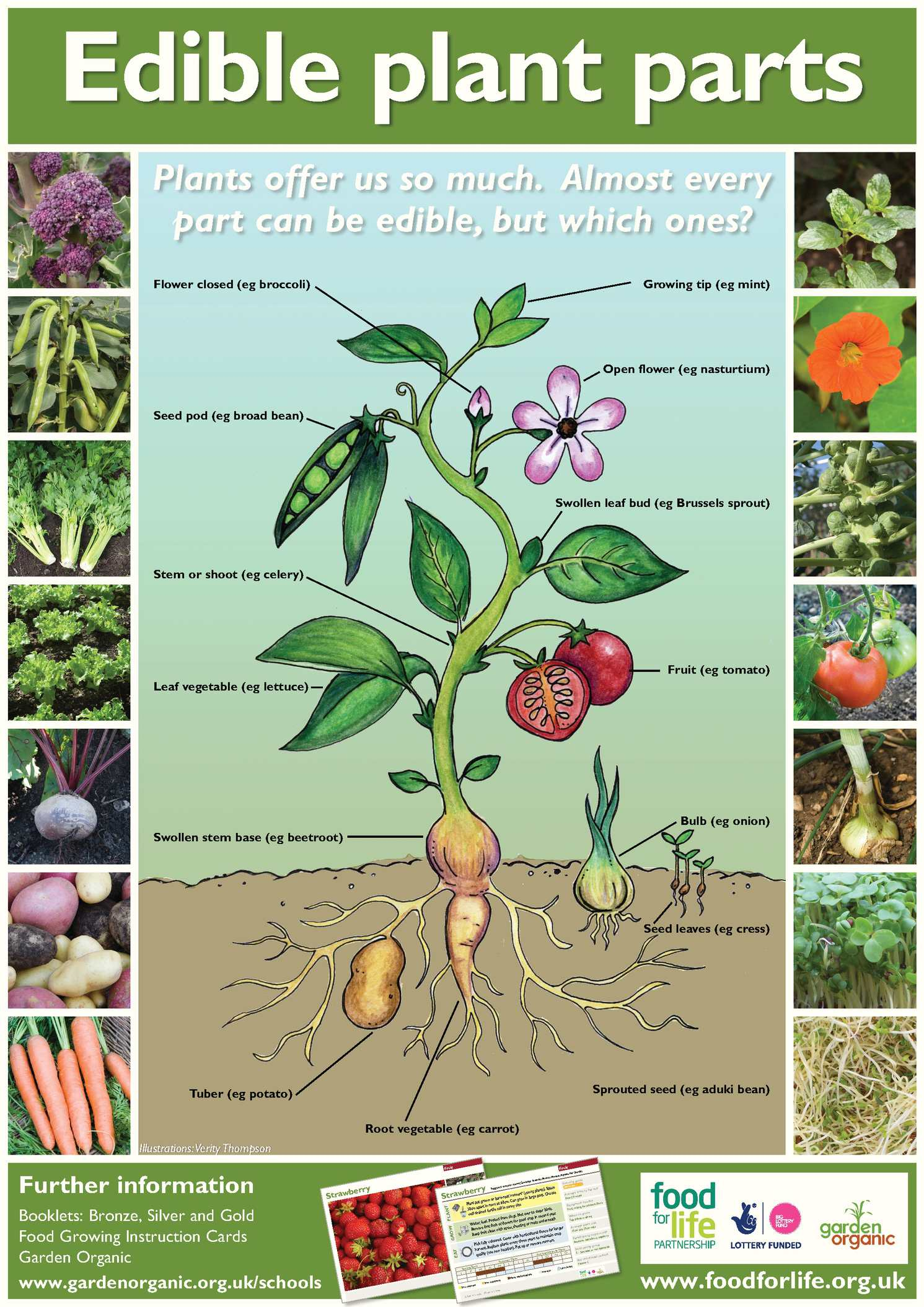 onion root tip diagram painless wiring 10202 calaméo - edible plant parts: growing guides for students + teachers organic school gardens