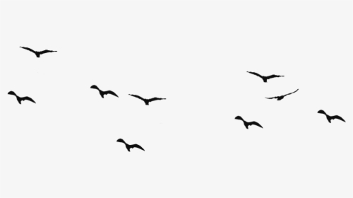 Bird Flight Swallow Silhouette Drawing Birds Hd Png Download Kindpng