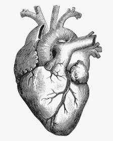 Anatomy Of The Heart Clipart Human Heart Drawing Png Transparent Png Kindpng