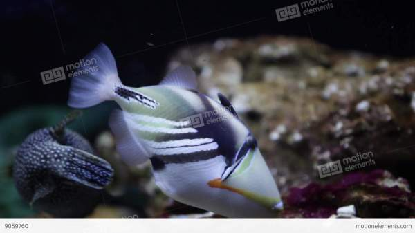 Picasso Triggerfish Stock Video Footage 9059760
