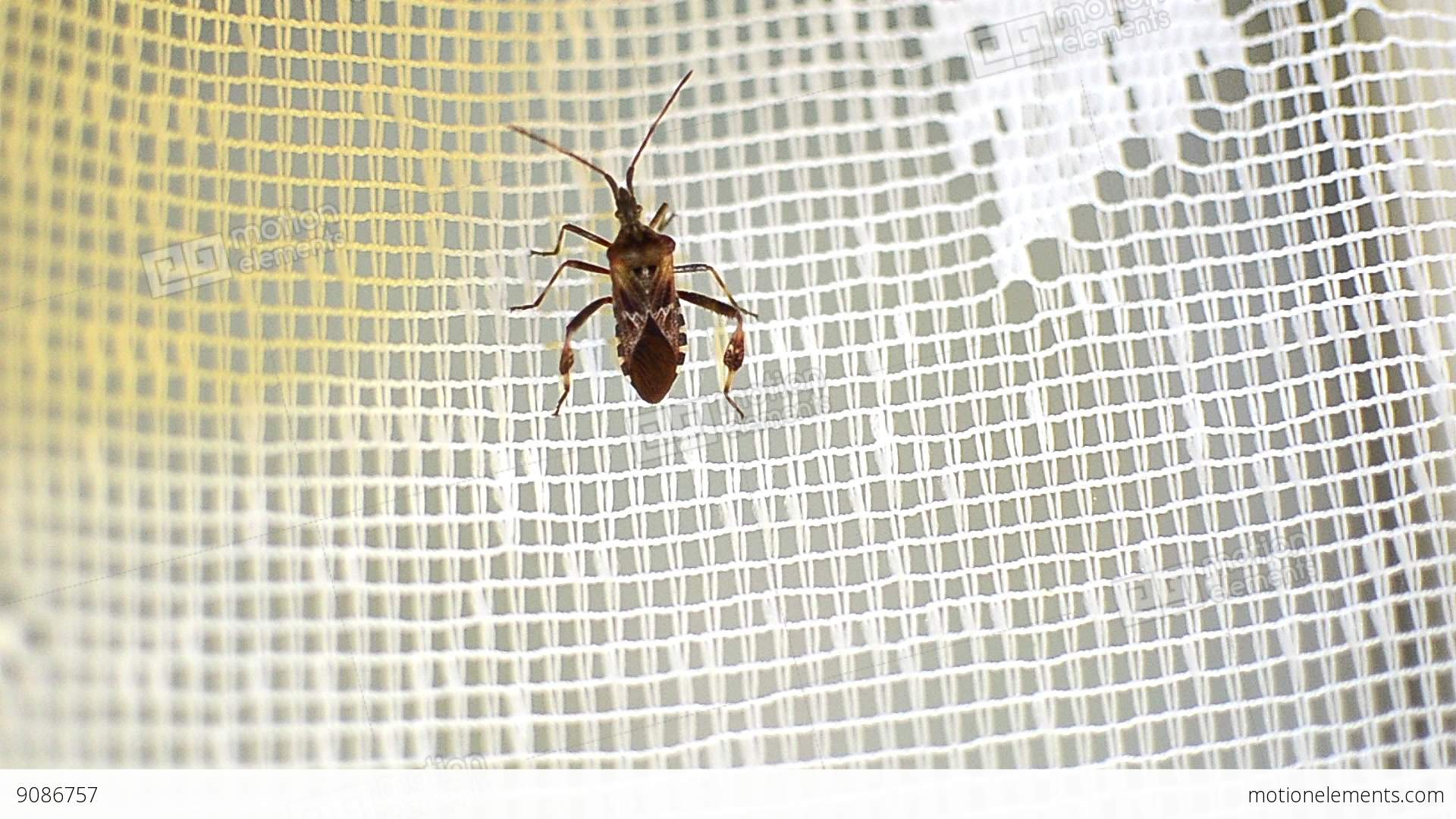 Insect With Six Legs Climb A Curtain Covering A Window Closed 9 Lizenzfreie Videos