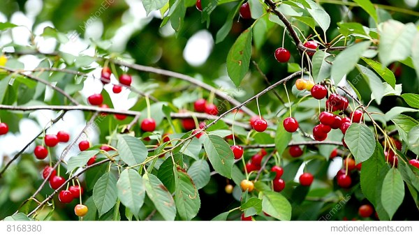 Cherry Tree Full Of Red Cherries Stock video footage 8168380